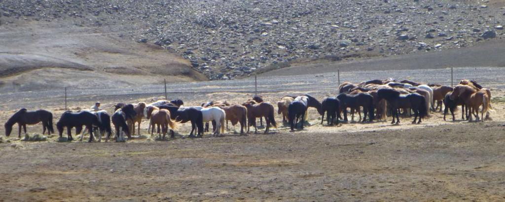 Die Pferde genießen ihr Heu nach dem langen Ritt.