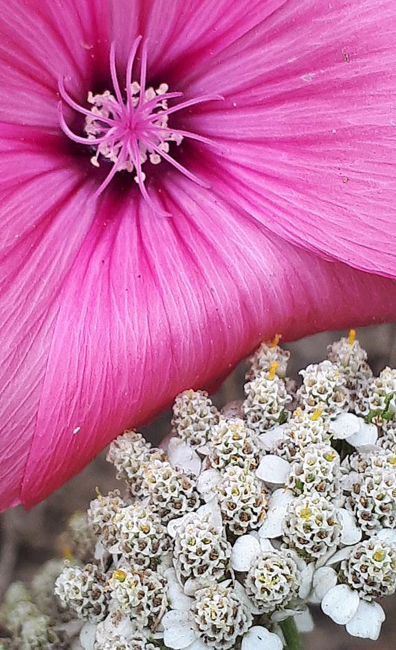 Eine große, pinke Cosmea Blüte und eine kleinen, weißen Schafgarbe nebeneinander im Garten