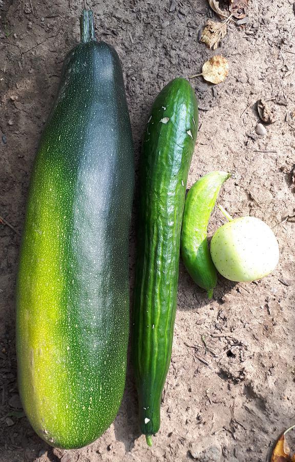 Makroaufnahme im Garten eines Großen Zucchino mit grüner Stangengurke daneben, einer kleinen grünen Salatgurke und einer grüngelber Zitronengurke, die auf dem der Erde liegen