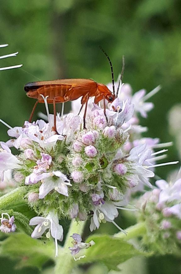 Ein roter, länglicher Käfer mit langen brauen Fühlern, der auf einer rosa blühender Pfefferminzblüte im Garten sitzt