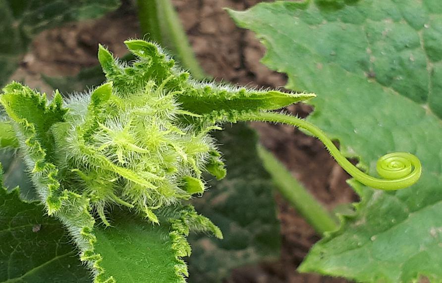 Makroaufnahme einer grünen Gurkenpflanze, die sich ihren Weg sucht auf dem Boden mit Fühler zum Ranken