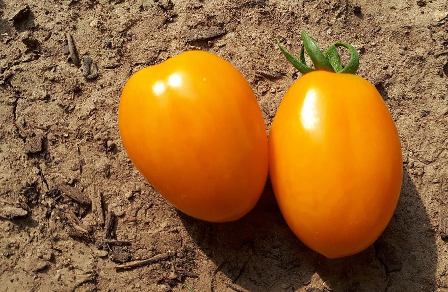 Zwei orange Tomaten die auf der Erde liegen als Makroaufnahme