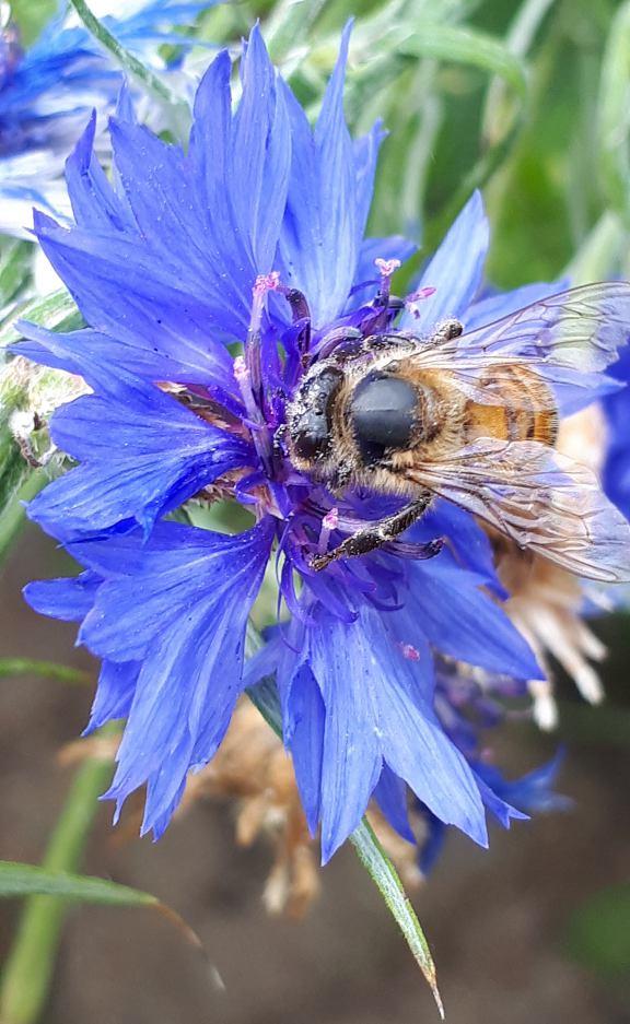 Schwarz-gelb gestreifte Wildbiene sitzt auf einer blauen Kornblumenblüte und saugt Nektar aus der Blüte in Makroaufnahme im Garten fotografiert