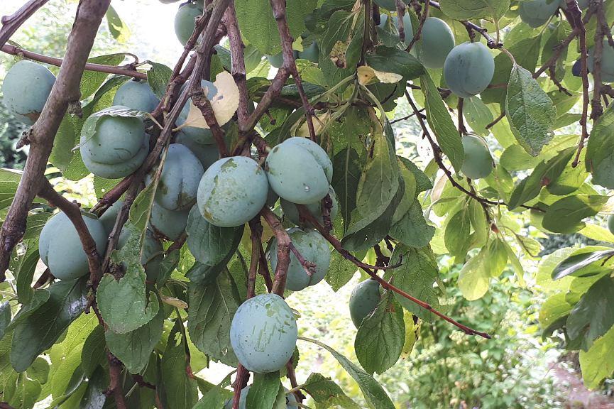 Makroaufnahmen von Zwetschgen an einem Baum mit Ästen im Sommer, die tief herunterhängen, am Baum sind grüne Blätter